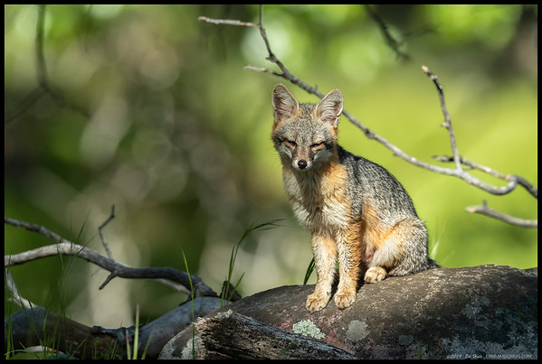 A Gray Fox basking in a pool of sunlight.  I had two encounters with this one over the course of the morning as it was hunting squirrels.