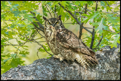 """""""Squirrel?  No squirrels around here.""""  Great Horned Owl with a snack, though being continually attacked by the Steller's Jays."""