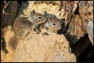 A pair of exploring ground squirrels that just recently started venturing out into the world.