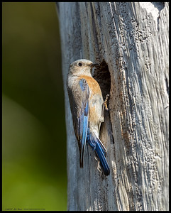 The female Western Bluebird still trying to decide if this is a good nesting site.