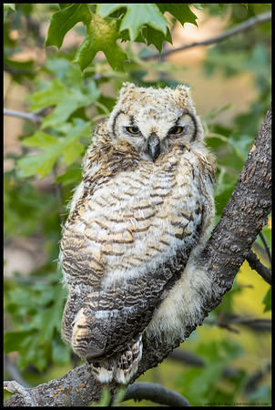 A very young Great Horned Owl perched on a very low branch.  Mom was definitely keeping an eye on me but junior really seemed comfortable on its perch.