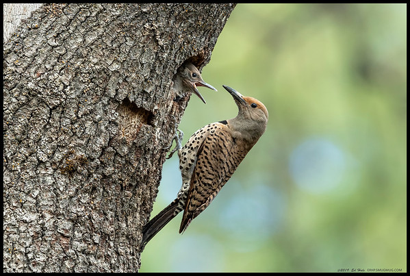Northern Flicker female and one of the nestlings.