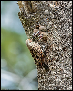 Papa Flicker checking in on the three nestlings before feeding them.