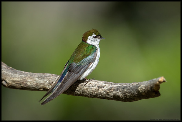 A male Violet Green Swallow perched outside the nest acting as a guard.