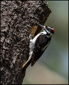 A male Hairy Woodpecker doing the final inspection before drumming to get the female to come back.  Third woodpecker nest this year and they all seem like bad HGTV/DIY network specials, lol.
