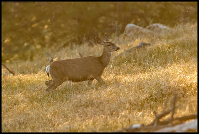 The sun was catching the late afternoon haze that had formed as I came across this doe making her way up the ridge.