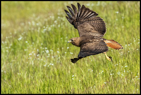 A Red Tailed Hawk just after takeoff.  It had landed to grab what appeared to be a small grasshopper.