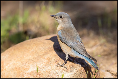 A female Western Bluebird hopped atop a rock looking for morning snacks.