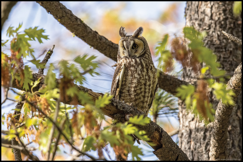 A Long Eared Owl during a brief moment of sunshine.