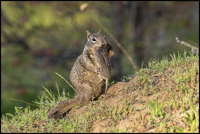 A typical California Ground Squirrel named Hugo with a little Botta's Pocket Gopher named George.