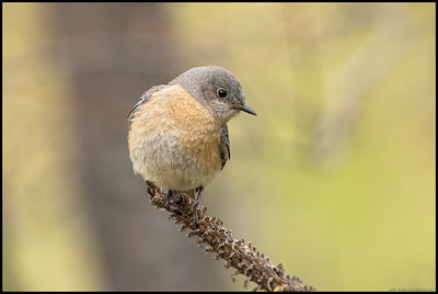 A female Western Bluebird were surveying the area for insects on a very overcast afternoon.