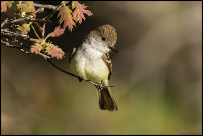 An Ash-throated Flycatcher decided to stop and hunt from a nearby budding branch.
