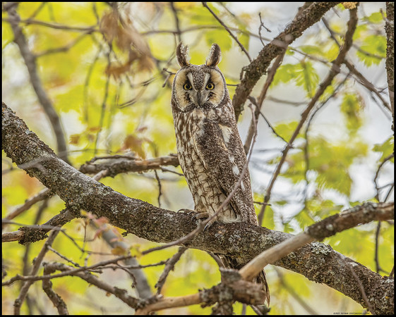 A Long Eared Owl was as curious about me as I was about it.