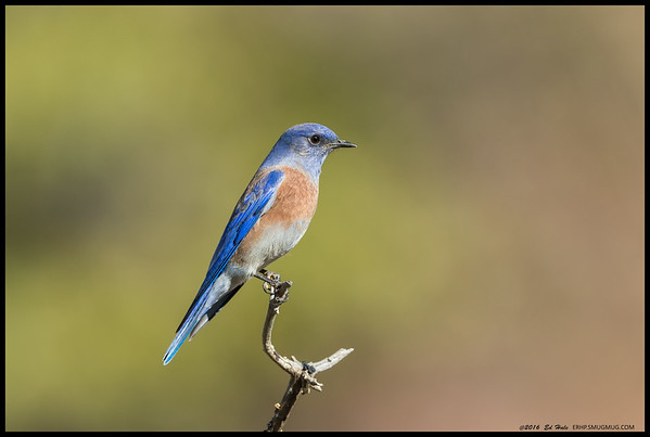Western Bluebird perched as a lookout for the rest of the group.