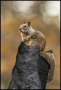 King Ground Squirrel prepares to address the forest from his throne... or go look for more acorns.