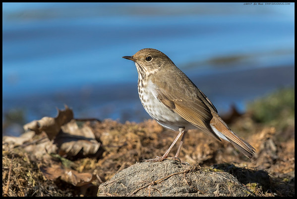 A couple of Hermit Thrushes were foraging along the shore and this one would stop and pose, probably in askance of the shutter clicks.