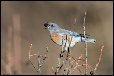 A male Western Bluebird playing with breakfast.