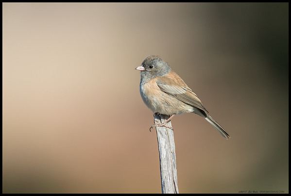 One of the 'Oregon' Dark Eyed Junco's.