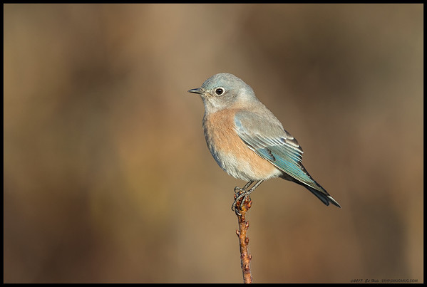 A female Western Bluebird posed on a nice perch while trying to decide which berries looked the best.