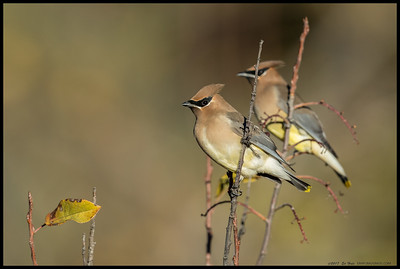 A pair of Cedar Waxwings took a short break before returning to search for more berries.