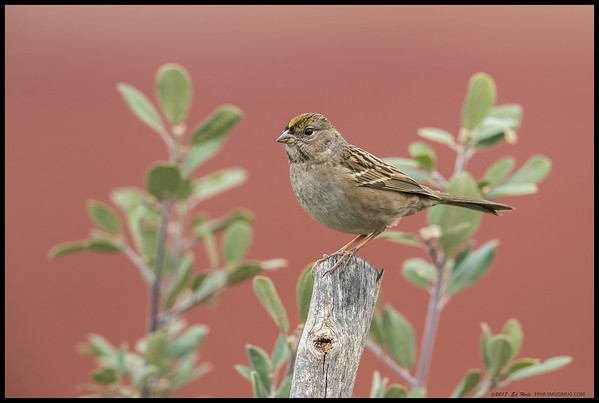 A Golden Crowned Sparrow decided to stop by for a visit.
