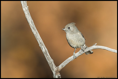 An Oak Titmouse investigating the best route to the small stream.