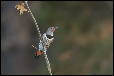 Had to make a quick pivot to catch this male Northern Flicker that perched on a sapling.