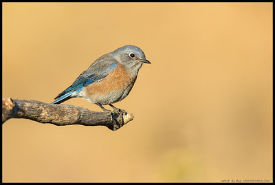 A female Western Bluebird.