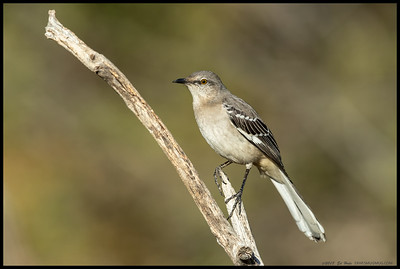 By far the quietest Northern Mockingbird I've encountered, this one still seemed to delight in chasing off the other birds.