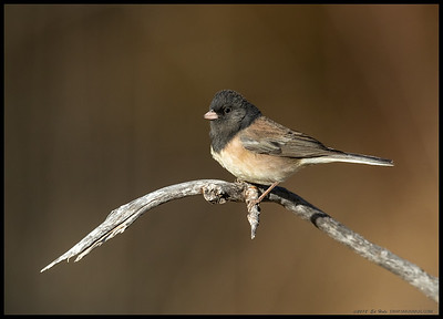 A Dark Eyed Junco basking in the last light of the day.