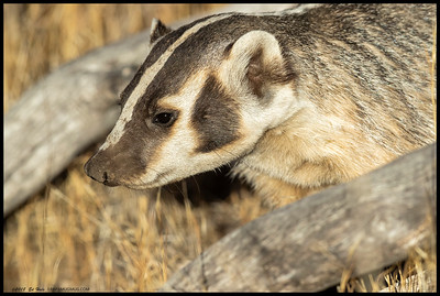 I spent a bit of time with an American Badger this evening.  At one point I was very close, though that had less to do with me and a lot to do with an apparently curious badger.  The most difficult part of photographing these animals is much like skunks, they are just very low to the ground and prefer taller vegetation while moving.