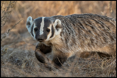 One of the rare moments when the American Badger was not completely obscured by the vegetation.