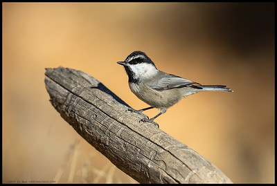 One of the fearless Mountain Chickadees.