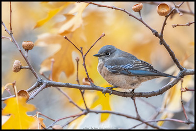 A cold and blustery Fall morning with clouds pushing over the mountains but the bluebirds were taking turns feeding on the mistletoe in the relatively sheltered forest canopy.  This female Western Bluebird decided to take a break right in front of my camera.