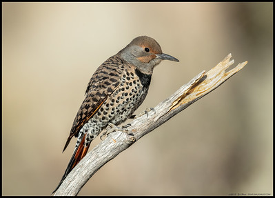 A female Northern Flicker seconds before diving down to take a drink of water.