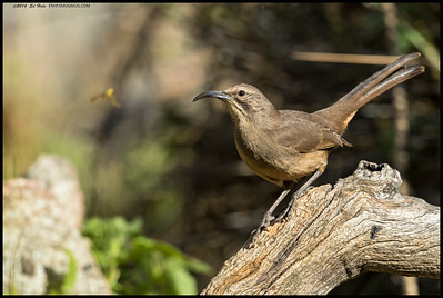 The California Thrasher was apparently momentarily captivated by the flight a bee.