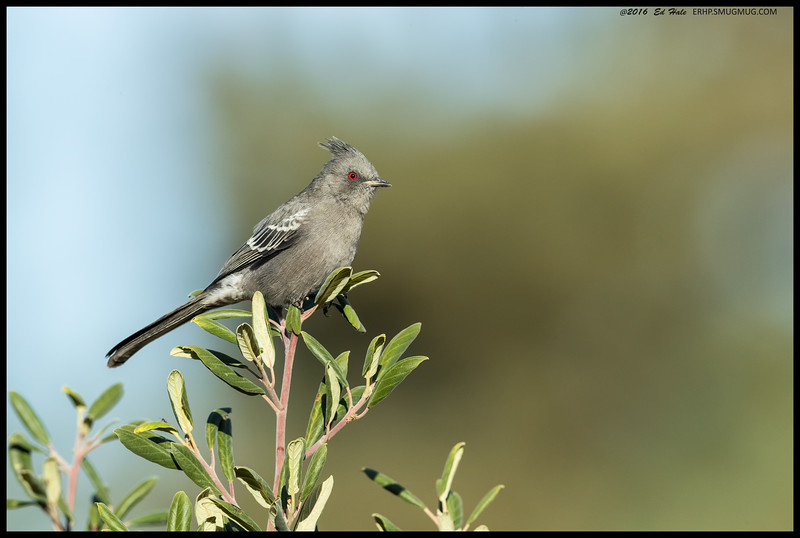 One of the Phainopepla's catching some early morning sun.