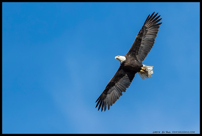 One of the two Bald Eagles ringing over Lake Cuyamaca Sunday morning.