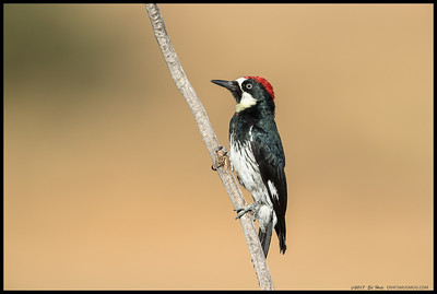 One of the Acorn Woodpeckers stopped by to say hi.