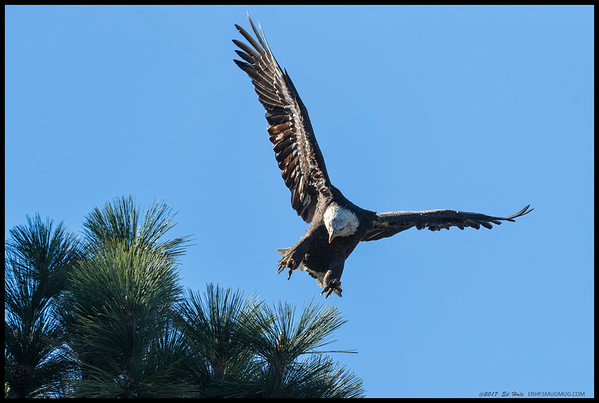 One of the local Bald Eagles a second before it landed on a pine bough.