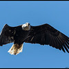 'Pardon me, do you have any Grey Poupon?'  One of the almost fully adult Bald Eagles stopped by to chat.