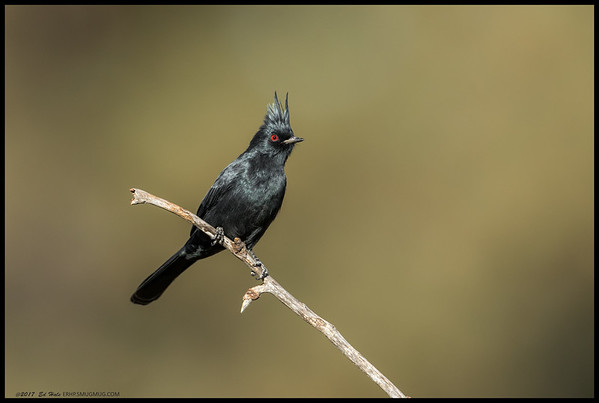 A male Phainopepla perched on one of the few clean branches before heading off in search of more bugs.