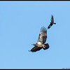 A juvenile Bald Eagle being harassed by a crow over Lake Cuyamaca.