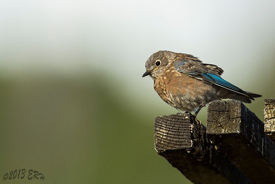 One of the juvenile Western Bluebirds kept an eye on me from the safety of his perch.