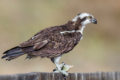 Osprey with a freshly caught fish for lunch.  With the wind, I was surprised it stayed there to eat the entire fish.