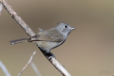 Oak Titmouse that braved the high winds to reach an upper branch to give me this shot.