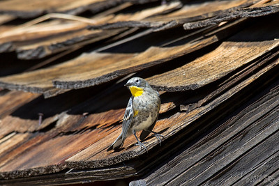 Yellow Rumped Warbler on the wooden shingle roof.
