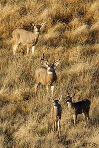 Small herd of Mule Deer in the valley just after dawn.
