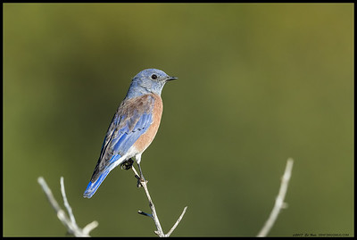 This male Western Bluebird has started to get some of the color back after the molt.