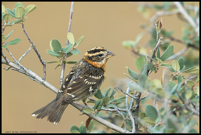 A juvenile Black Headed Grosbeak perched and waited patiently for me to take a few shots.